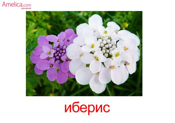 цветы картинки для детей, карточки Домана цветы, 9