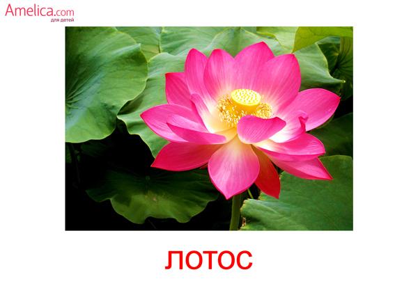 цветы картинки для детей, карточки Домана цветы, 8