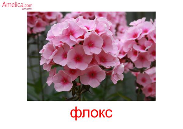 цветы картинки для детей, карточки Домана цветы бесплатно, флокс