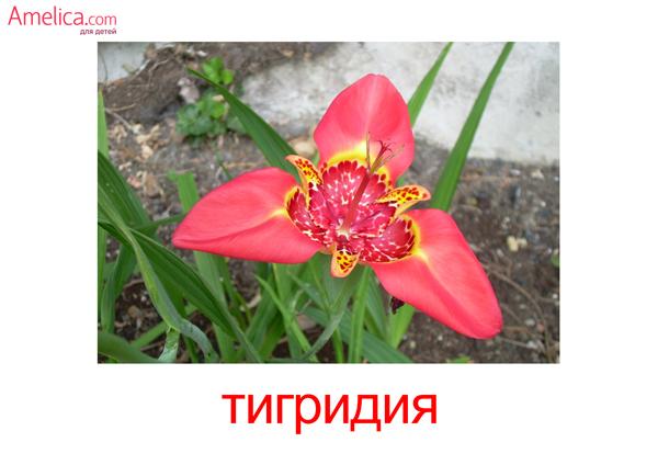 картинки цветы для детей, карточки Домана цветы, тинридия