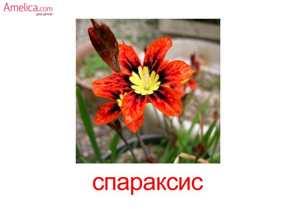 картинки цветы для детей, карточки Домана цветы, 2