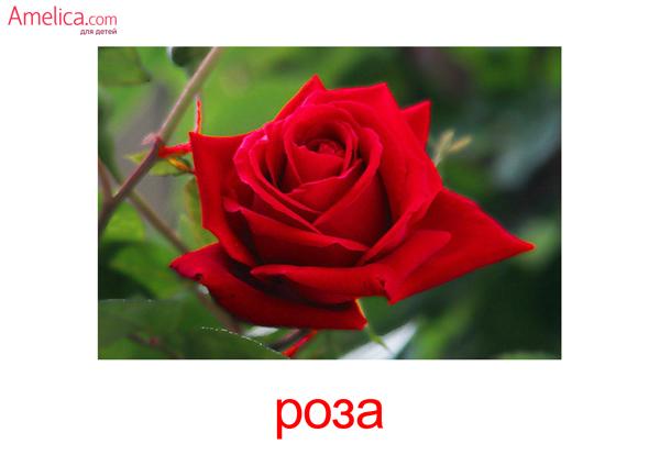 картинки цветы для детей, карточки Домана цветы, 3